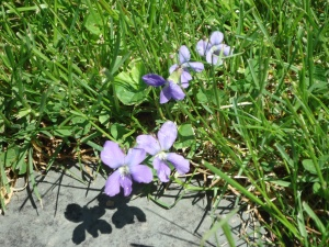 Violets Along the Path