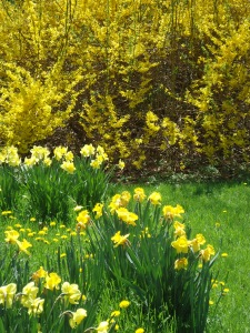 Daffodils in Lea's Yard Today